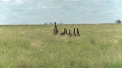 Australian Emu with baby chicks in outback grasslands - stock footage