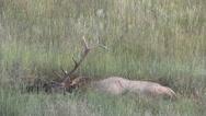 Stock Video Footage of Bull  Elk in Wallow