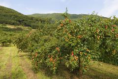 Austria, Lower Austria, Waldviertel, Wachau, Apricot Trees, Prunus armeniaca - stock photo