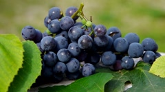 Blue grapes Stock Footage