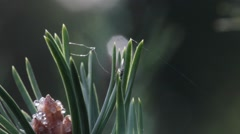 Adult waxy grey pine aphid with wings on a pine needle Stock Footage