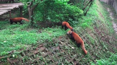Red Pandas Walk Into The Green Forest 4K Stock Footage