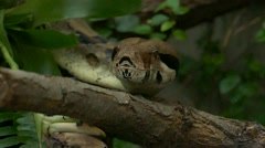 Boa constrictor snake showing its forked tongue slow motion. - stock footage