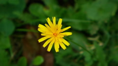 Dandelion flower, view from above. Stock Footage