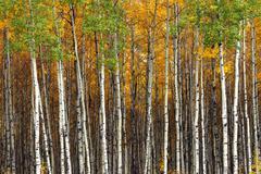 Aspen forest Stock Photos