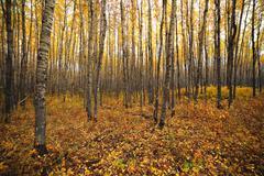aspen forest - stock photo