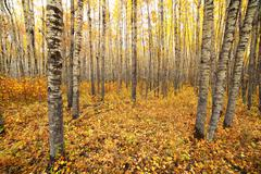 Aspen forest Stock Photos