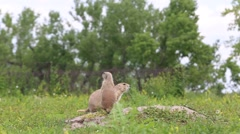 Prairie Dogs Stand on Alert as Vehicle Passes Stock Footage