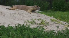 Closeup of Prairie Dogs Stock Footage
