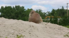 Prairie Dogs Wrestling on Mound of Sand Stock Footage