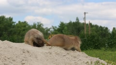 Prairie Dogs Playing on Sand Mound Stock Footage