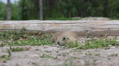 Prairie Dog Laying Low and Chewing its Food Stock Footage