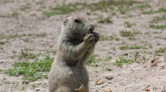 Prairie Dog Chewing on Nut Stock Footage