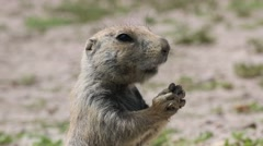 Closeup of a Prairie Dog Chewing Its Food Stock Footage