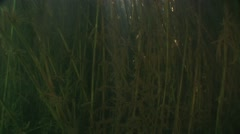 Sunlight penetrates into the water and illuminates reeds in fresh water Stock Footage