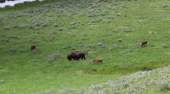 Bison (Buffalo) Grazing on the Open Prairie Stock Footage