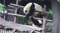 Two Panda Bears On Wood Playground HD HD Footage