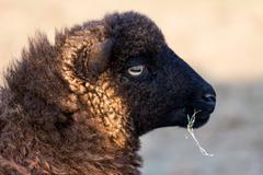 Ushant small sheep species Stock Photos