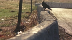 Raven or crow at highway truck stop - stock footage