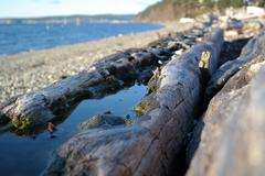 Madrona Log - stock photo