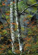 Aspen Trees and Moss Covered Rocks in Autumn, Cranbrook, British Columbia, Stock Photos