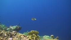 Blackspotted pufferfish Stock Footage
