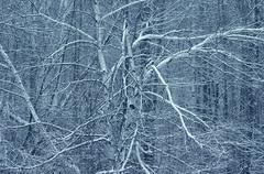 White Birch Trees, Gatineau Park, Quebec, Canada - stock photo