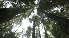 Lens flare in the giant red woods Stock Footage