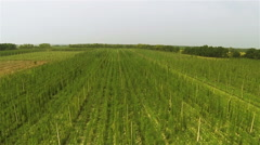 Up  over green  field  of hop. Agricultural landscape. Aerial Stock Footage
