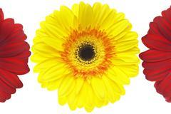 Red and Yellow Gerbera Daisies Stock Photos