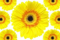 Yellow Gerbera Daisies Stock Photos