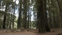 Pan of lansdale grove redwoods Stock Footage
