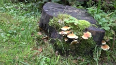 4k Wood and Tree Fungi at cutted mossy tree trunk Stock Footage