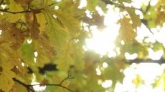 Autumn oak leaves Stock Footage