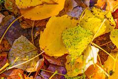 dead poplar leaves - stock photo