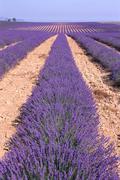 Lavender Field, Alpes-de-Haute-Provence, France Stock Photos