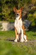 Small hunting dog breed basenji Stock Photos