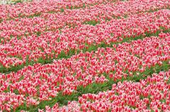 Tulip Field, Lisse, Holland, Netherlands Stock Photos