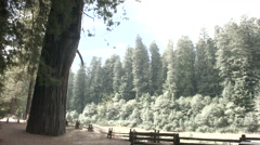 Redwood tree with fence tilt Stock Footage