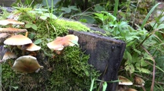4k Wood and Tree Fungi closeup panning at cutted tree trunk Stock Footage