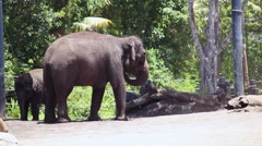 Elephants in the Zoo Stock Footage