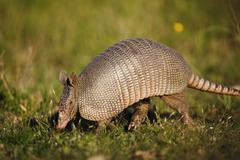 Armadillo Stock Photos