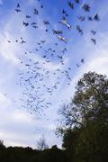 Mexican Free-Tailed Bats in Flight Kuvituskuvat