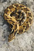 Coiled Hognosed Snake - stock photo