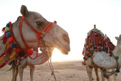 Epic Arabian Camel Stock Photos