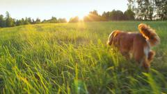 Following a dog running in the field, lens flares, wide angle Stock Footage