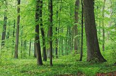 Stock Photo of Deciduous Forest in Spring, Spessart, Bavaria, Germany