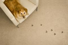 Dog Prints on Carpet - stock photo