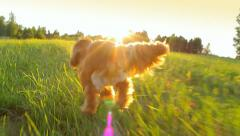 Following a dog running in the field, lens flares, wide angle, dynamic shot Stock Footage