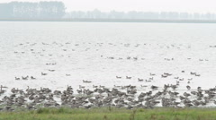 Flock of Grey lag Goose during autumn migration Stock Footage